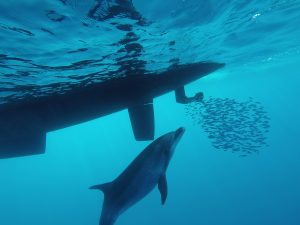 Hunting Dolphins