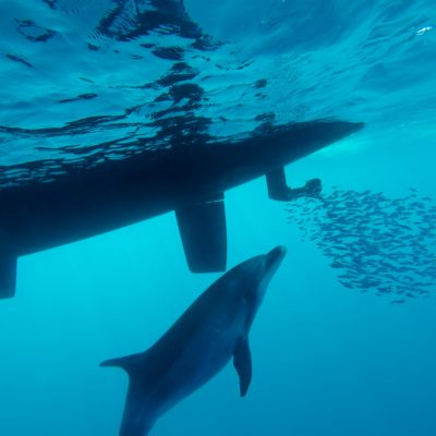 Hunting Dolphin