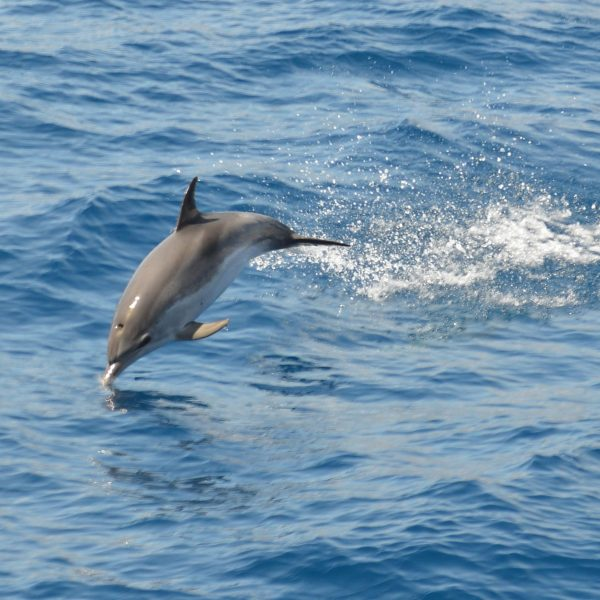 Jumping Dolphin
